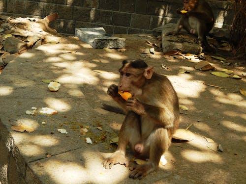 Бесплатное стоковое фото с обезьяна наслаждается леденцом - лето