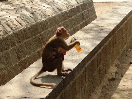 Бесплатное стоковое фото с обезьяна утоляет жажду летом