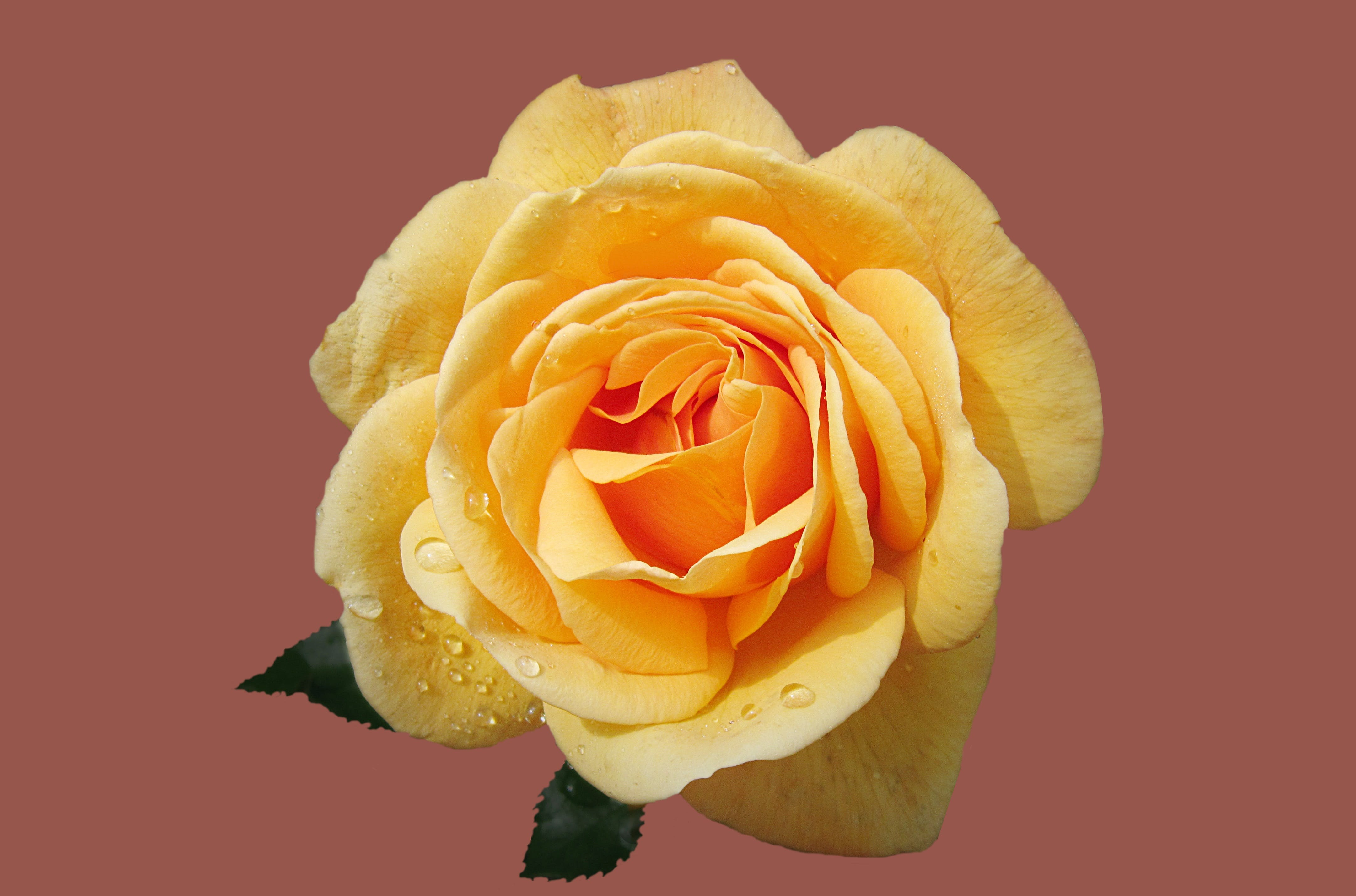 Close-up Photography of Yellow Rose With Water Dew