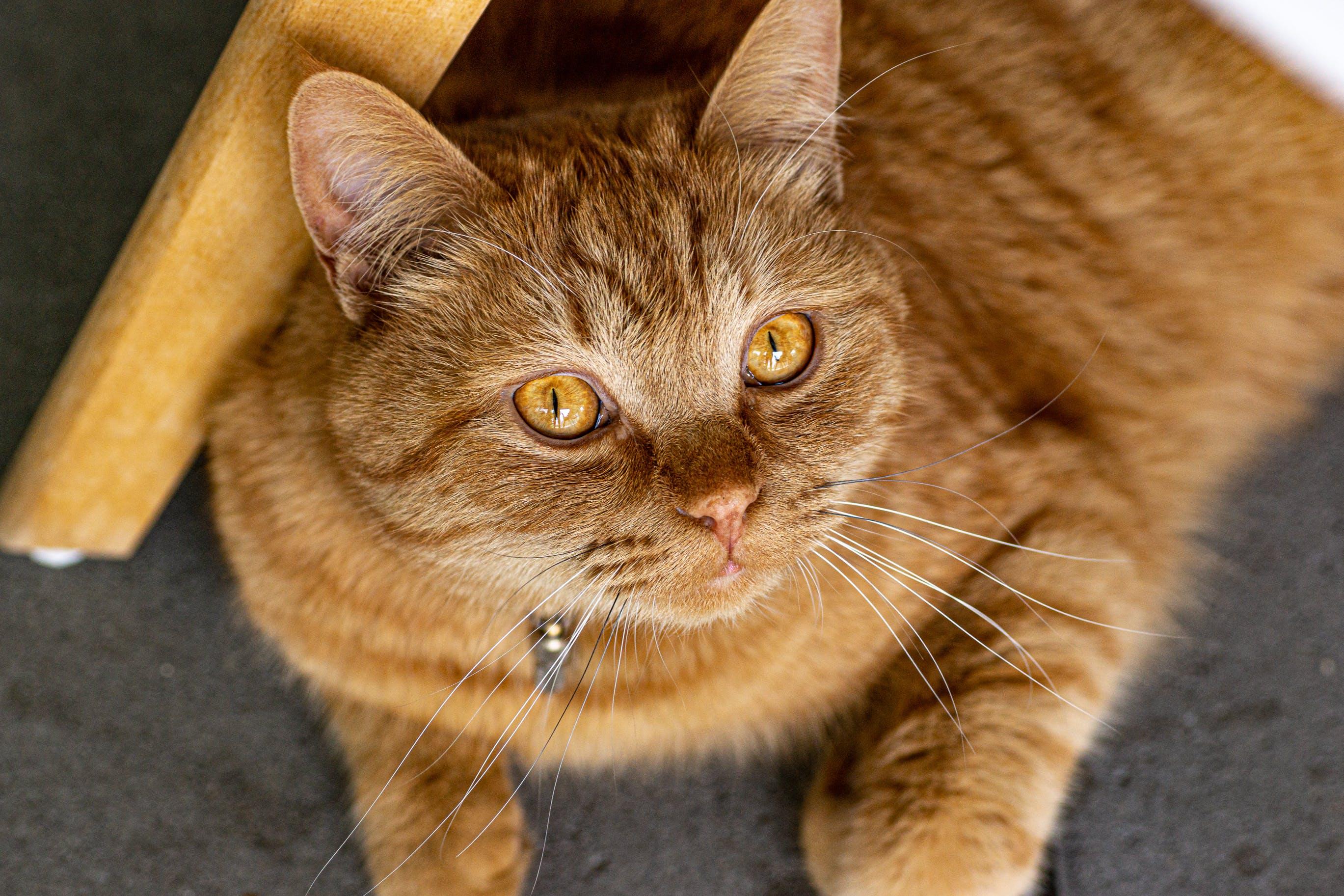 Gratis lagerfoto af kat, katteansigt, stor kat, søde dyr
