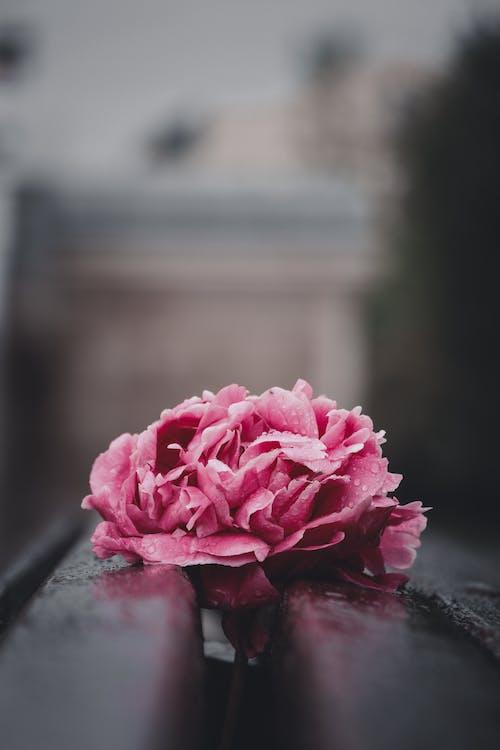 꽃, 꽃잎, 매크로, 모란의 무료 스톡 사진