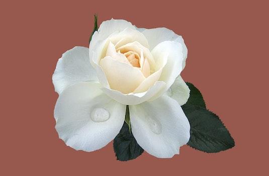 Free stock photo of rose, close, rose bloom, rose garden