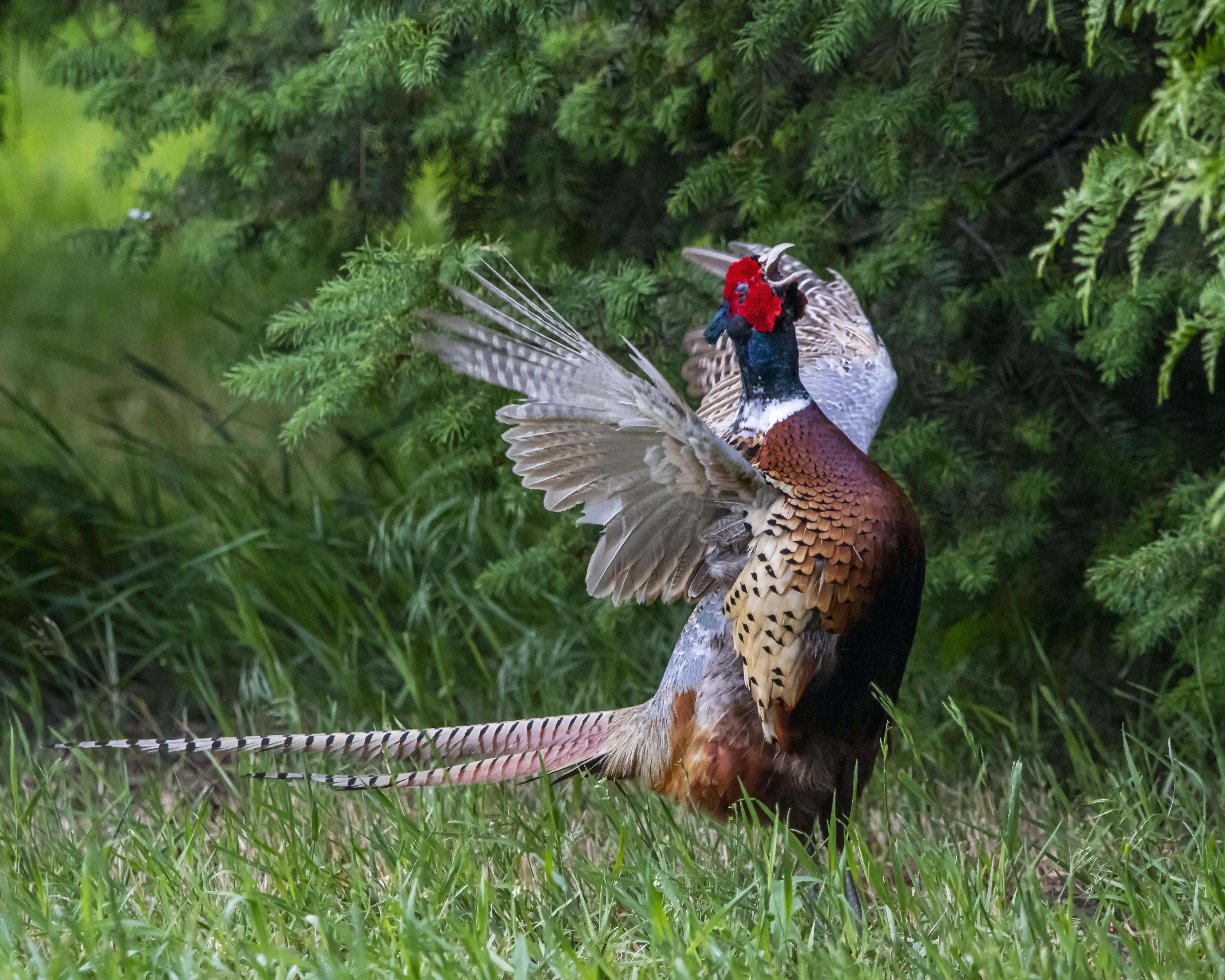 Free stock photo of bird, crowing, pheasant