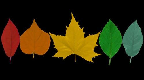png, オレンジ, カエデ, カラフルの無料の写真素材