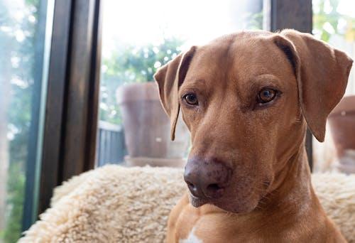 Photos gratuites de à l'intérieur, brun, chien, curieux