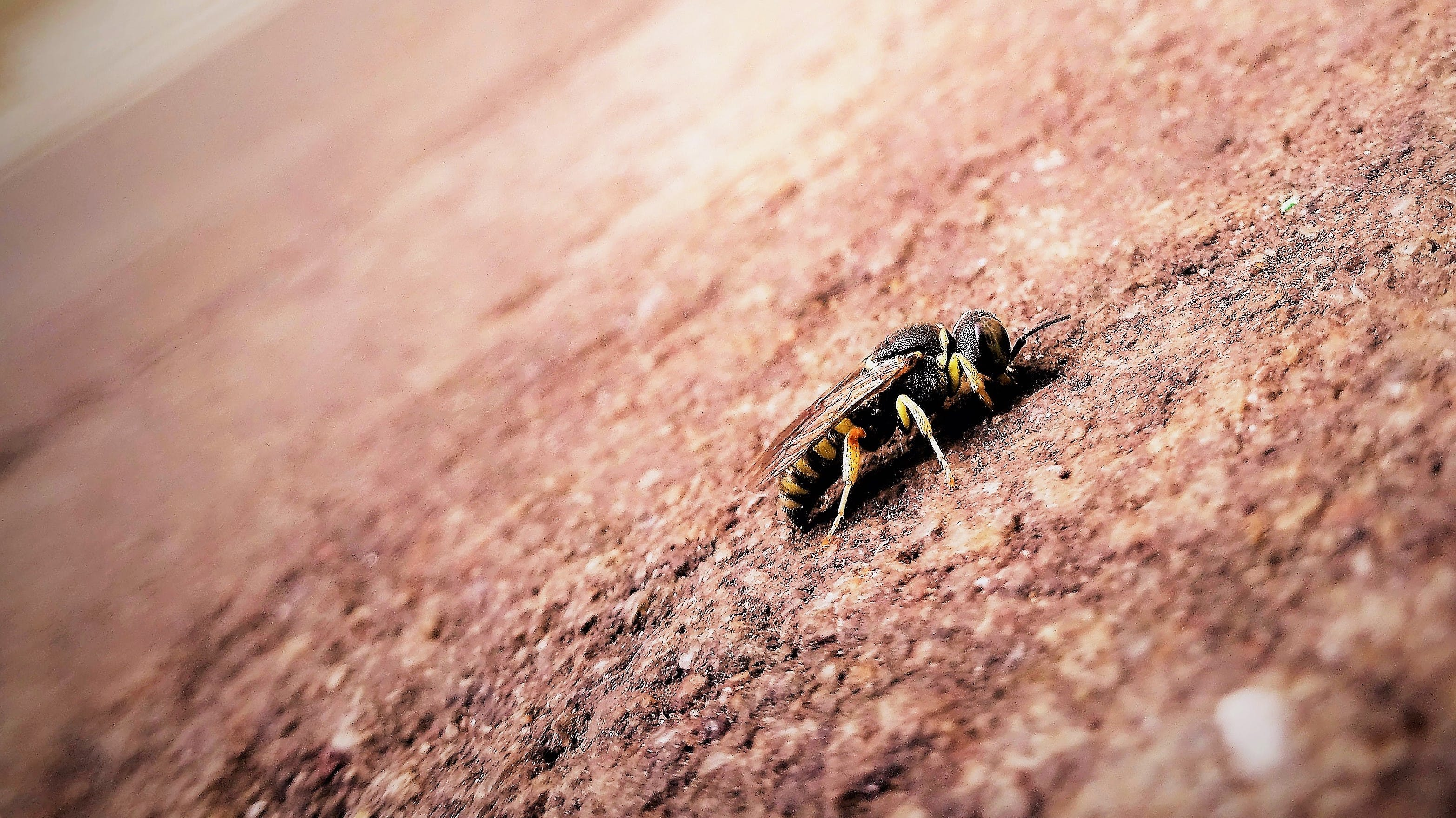 Black and Yellow Bee on Brown Surface