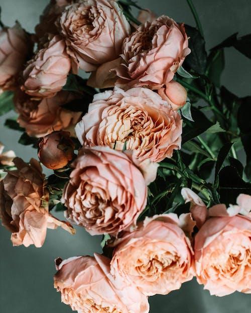 牡丹, 粉紅玫瑰, 美麗的花朵, 開花植物 的 免费素材照片