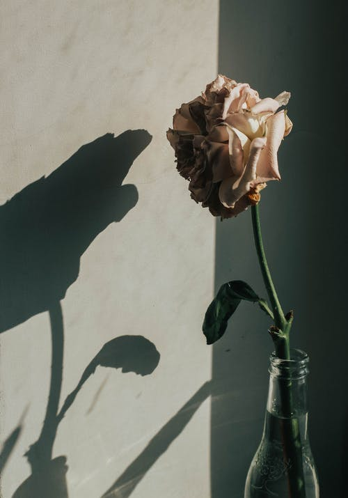 คลังภาพถ่ายฟรี ของ กลีบดอก, ขวดแก้ว, ดอกกุหลาบสีชมพู, ผนังสีเทา