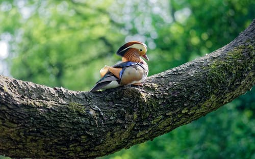 Photo of a Colorful Mandarin Duck Perched on Tree Branch