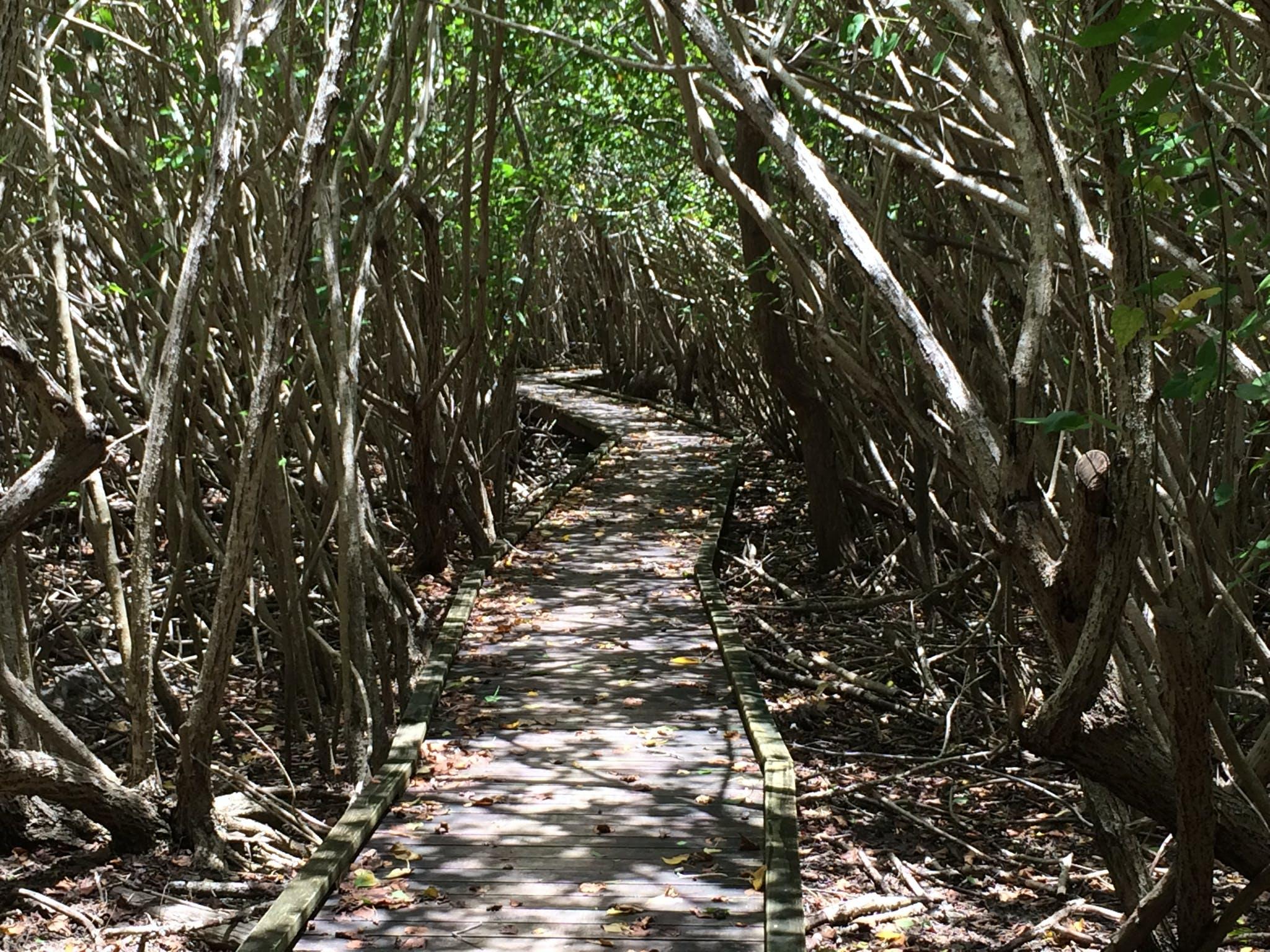 Free stock photo of boardwalk, Francis Bay, mangroves
