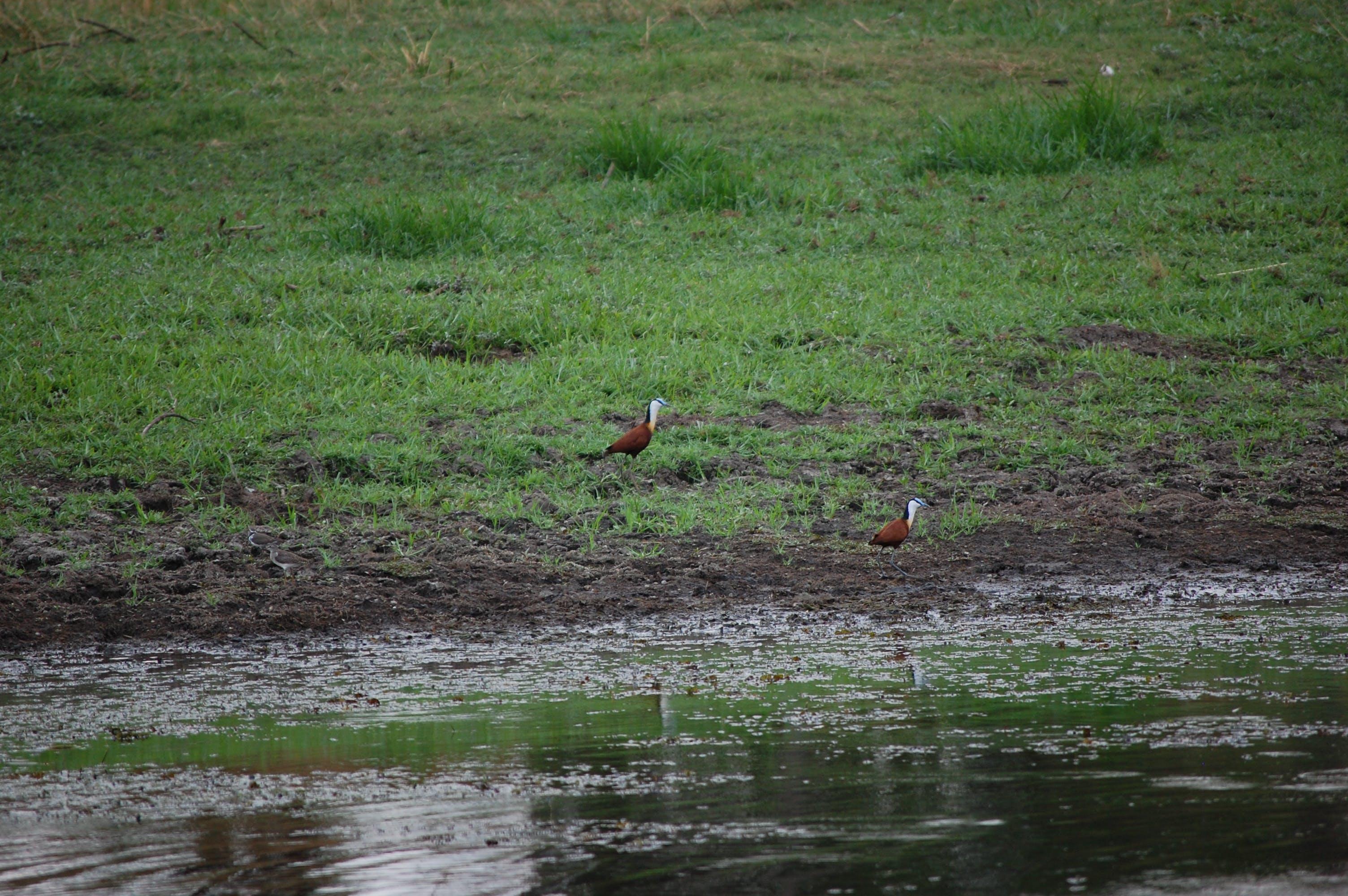 Free stock photo of waterbird, wetland