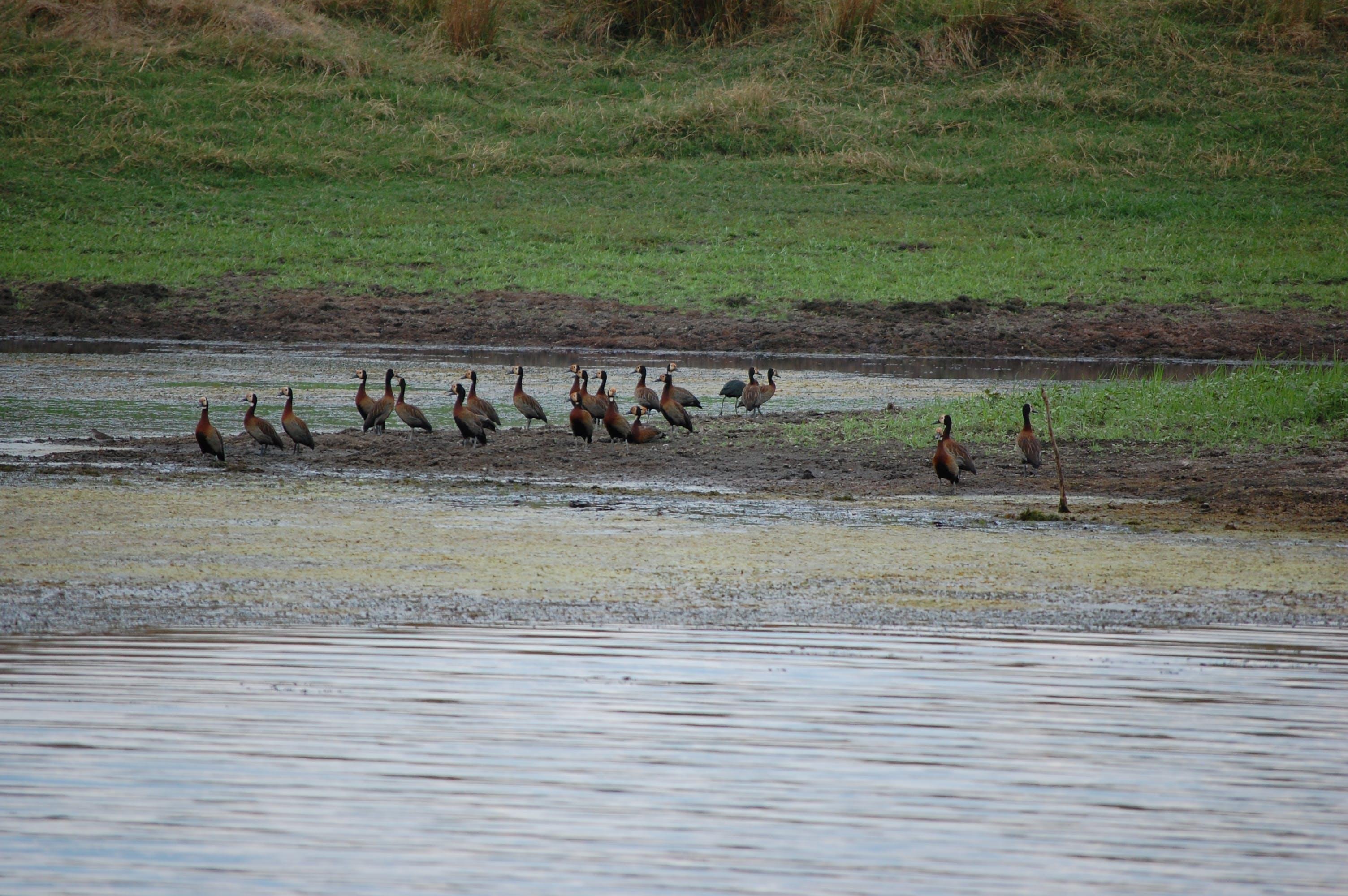 Free stock photo of ducks