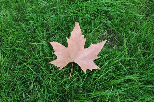 Brown Maple Leaf on Green Grass Field