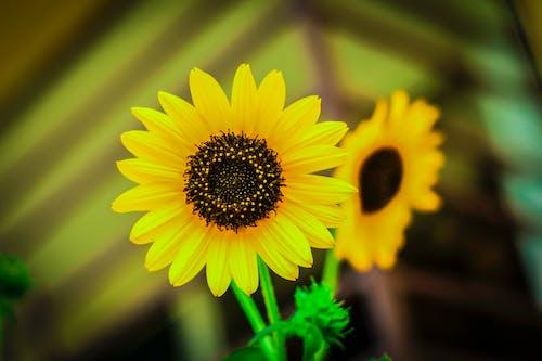 Free stock photo of sunflowers, yellow flower