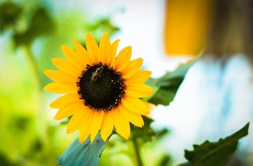 Gratis lagerfoto af bi, blomst, blomstrende, dof