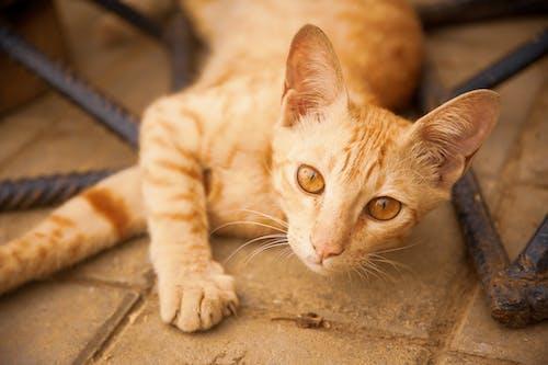 Gratis lagerfoto af brune øjne, ingefær kat, kat, killing