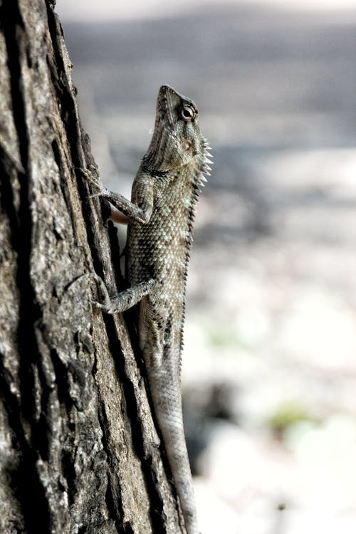 Photo of Gray Lizard