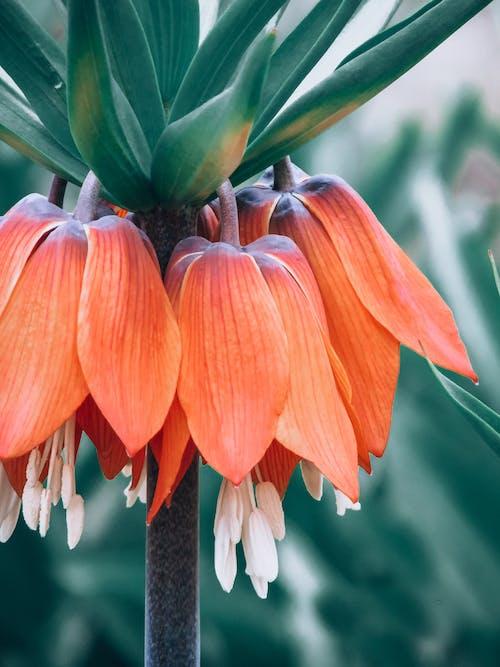 Photos gratuites de centrales, fleur de printemps, fleur orange, jeune coq