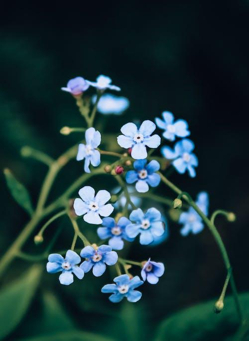Photos gratuites de alpine myosotis, bleu, bourgeons, centrales
