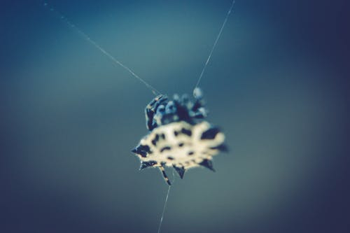 Black and White Spinny Orb Weaver Spider