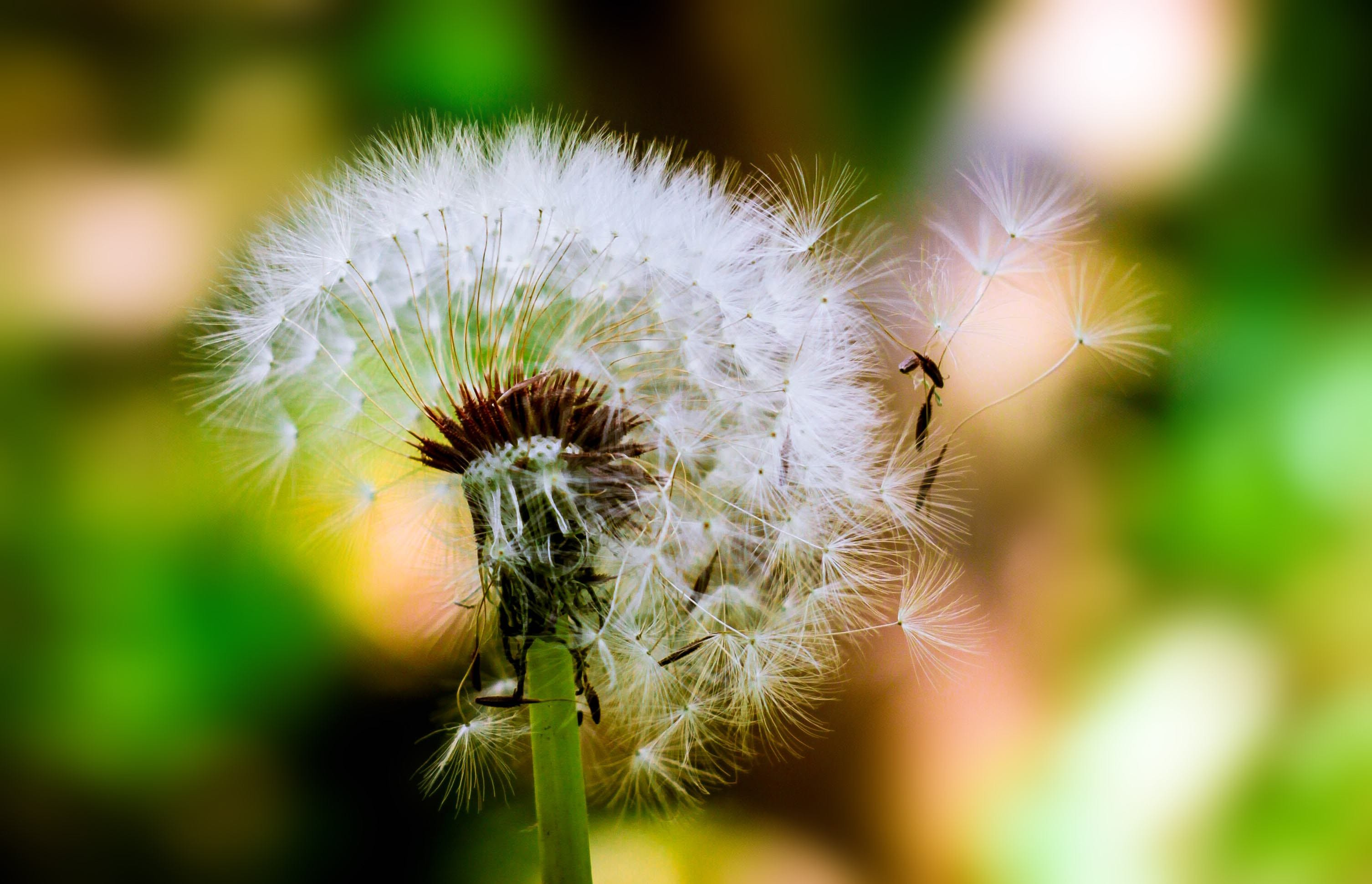 Selective Focus Photograph of Dandelion
