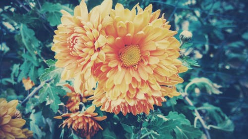 Selective Focus Photography of Yellow Dahlia Flowers