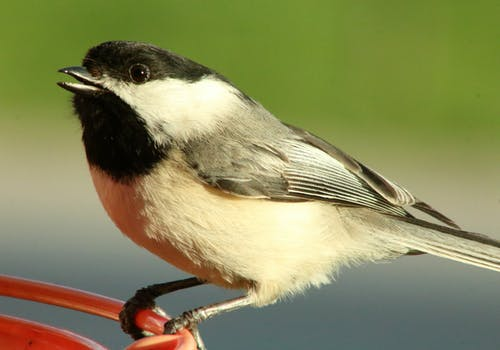 Základová fotografie zdarma na téma americký ptáček