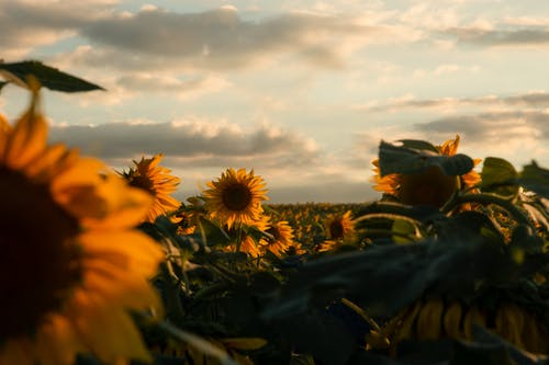 Field of Sunflowers during Golden Hour