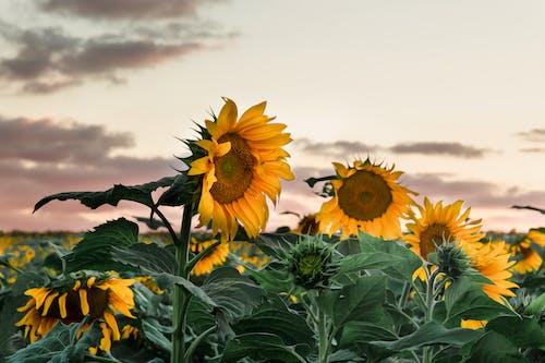 Imagine de stoc gratuită din delicat, floarea-soarelui, floră, flori
