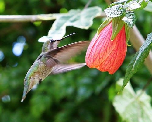 Foto d'estoc gratuïta de colibrí, el meu jardí, flor de primavera, zumbido