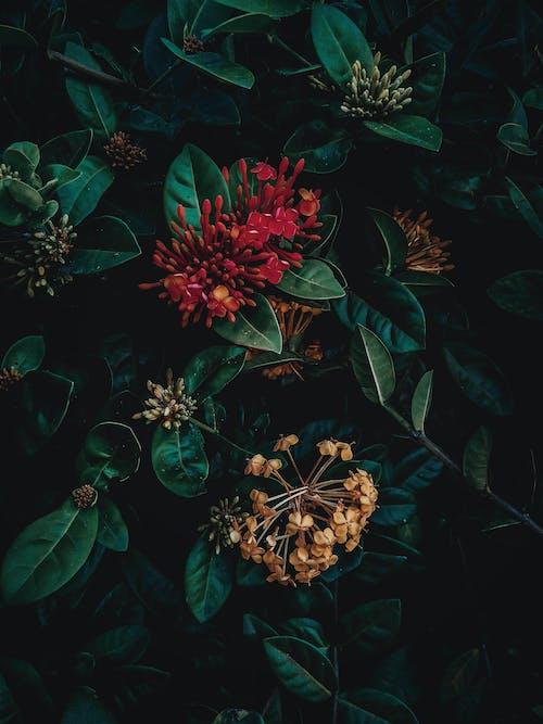 イクソラコクシネア, フラワーズ, フローラ, 低木の無料の写真素材