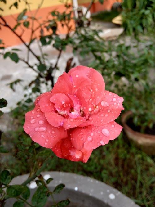 Ảnh lưu trữ miễn phí về cùng một bông hoa, hoa hồng, với những giọt nước