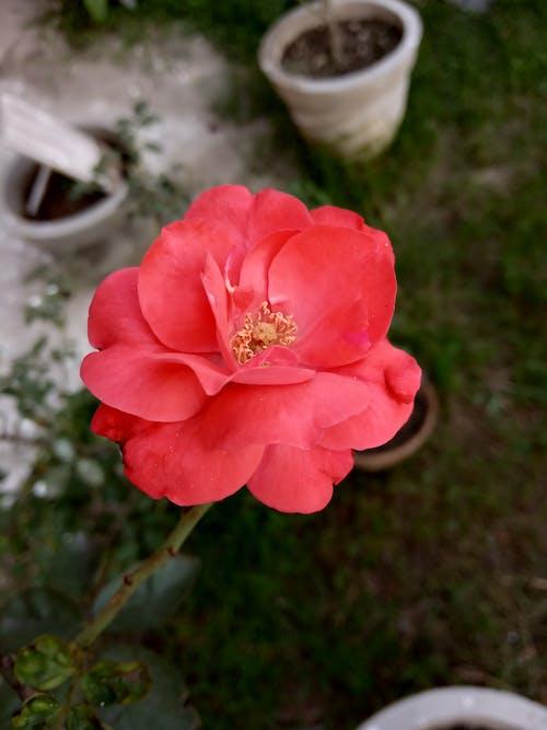Ảnh lưu trữ miễn phí về hoa hồng, vườn hoa của tôi