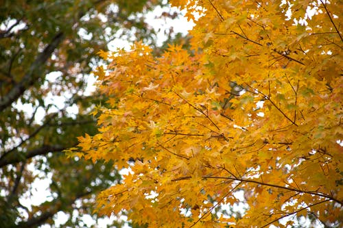 Yellow Leafed Tree