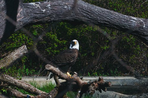 Free stock photo of bird, eagle, zoo