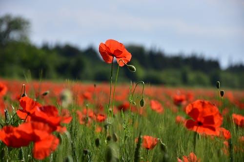 Fotobanka sbezplatnými fotkami na tému mak kvety prírody vidiecke