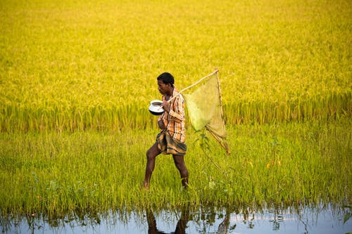 Man Walking on Rice Field