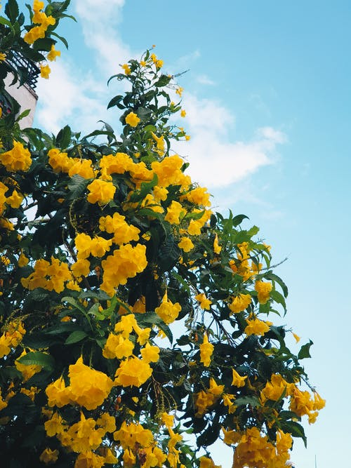 Albero In Fiore Giallo