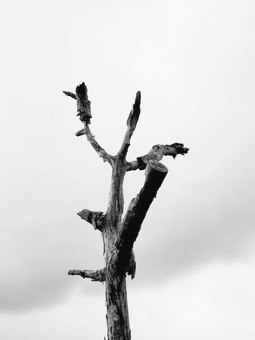 Foto d'estoc gratuïta de a l'aire lliure, arbre, arbre mort, bagul