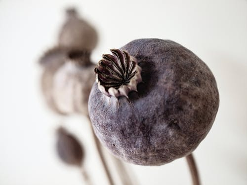 Grey and Brown Poppy Buds