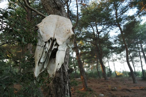 Free stock photo of Bone, forest, skeleton, skull