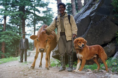 Man Standing With Brown Cattle and Short-coated Tan Dog
