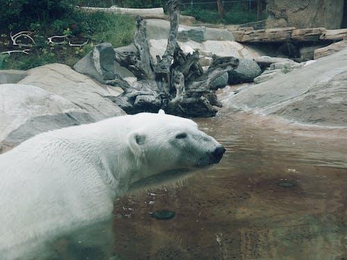 Darmowe zdjęcie z galerii z niedźwiedź polarny, ogród zoologiczny, woda