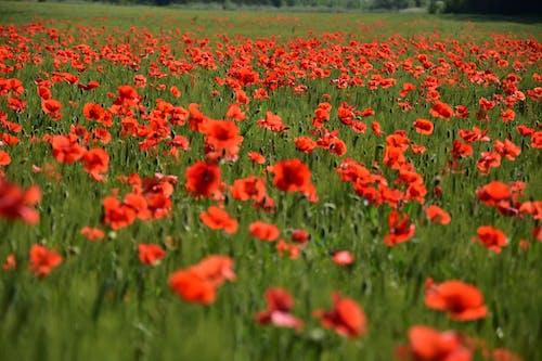 Fotobanka sbezplatnými fotkami na tému makové kvety farby