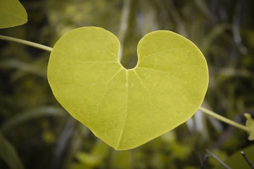 Free stock photo of beauty in nature, close-up, green leaves, heart shape