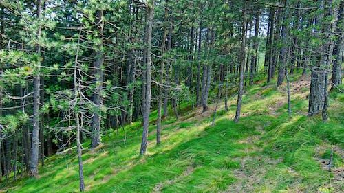 Gratis arkivbilde med furutrær, gå, granskog, natur