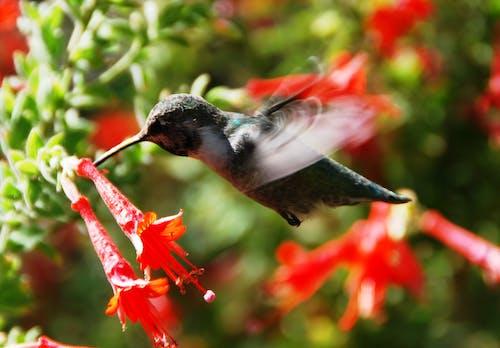 Imagine de stoc gratuită din aripi, colibri, creștere, floră