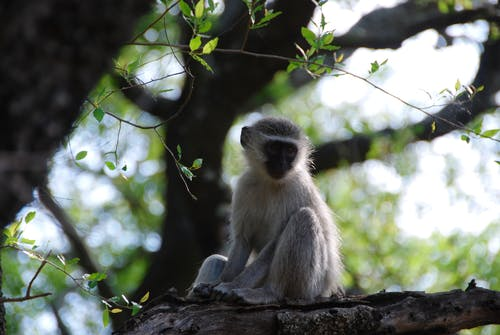 Grey Monkey on Tree