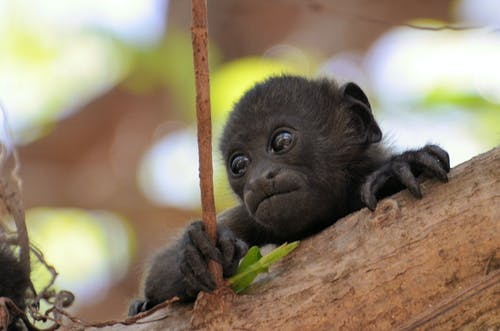 Gratis lagerfoto af abe, abeunge, behåret, dyr