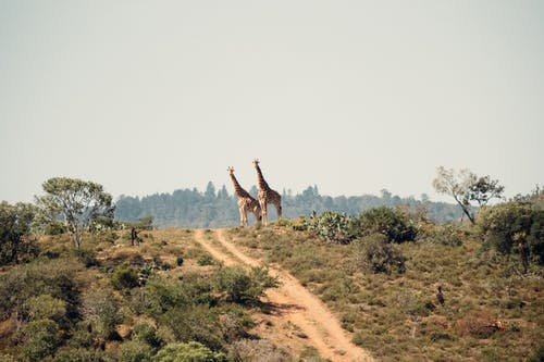 Two Giraffe Standing on Hill
